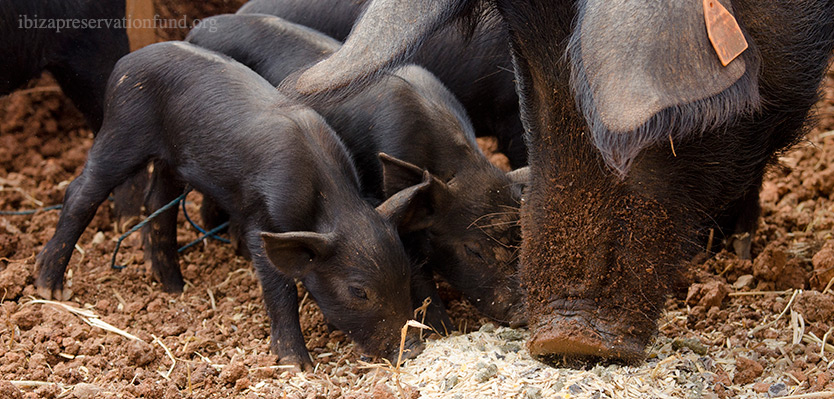 Porc Negre (Black Pig) Breeding Center