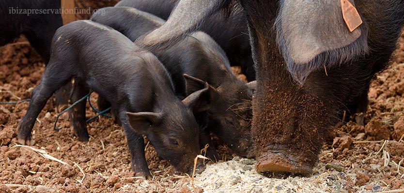 Porc Negre (Black Pig) Breeding Center