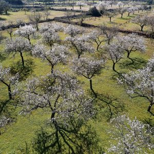 Preserving Ibiza's Iconic Almond Groves