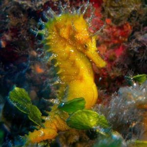 Saving Our Seahorses