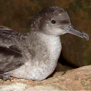 Balearic Shearwater Conservation